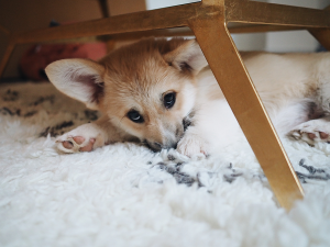 Getting-a-corgi-puppy-blog