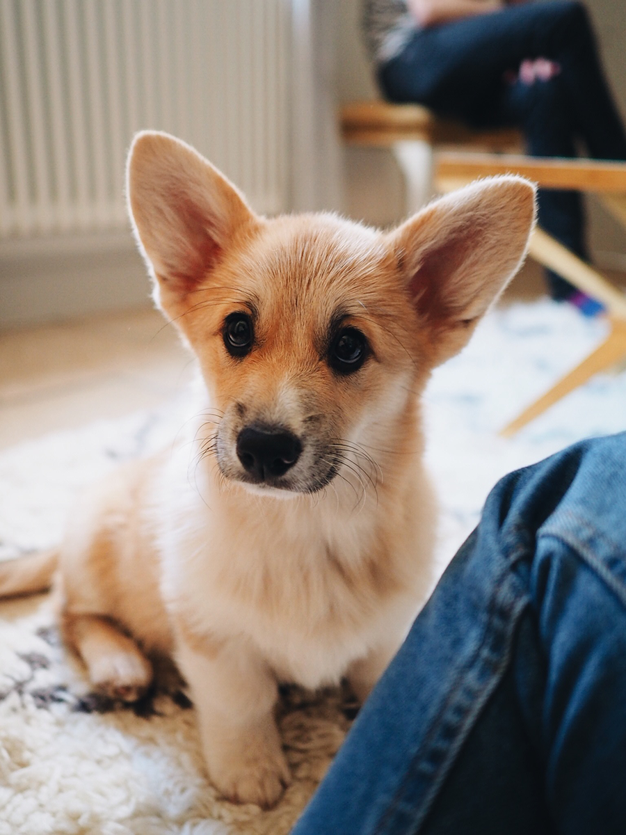 Getting-a-corgi-puppy
